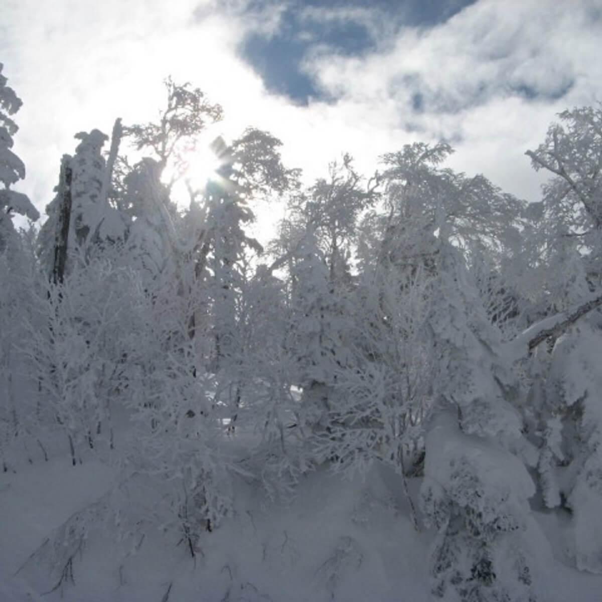 木に雪が積もっている様子。