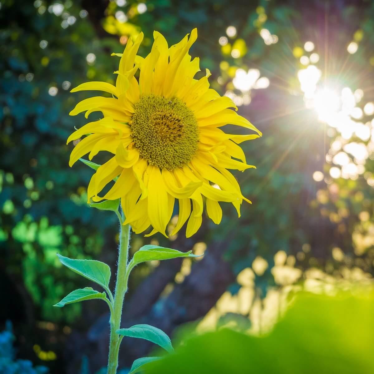 自然の中に咲くひまわりの写真。
