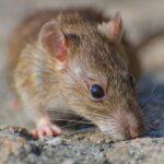 ネズミの写真。