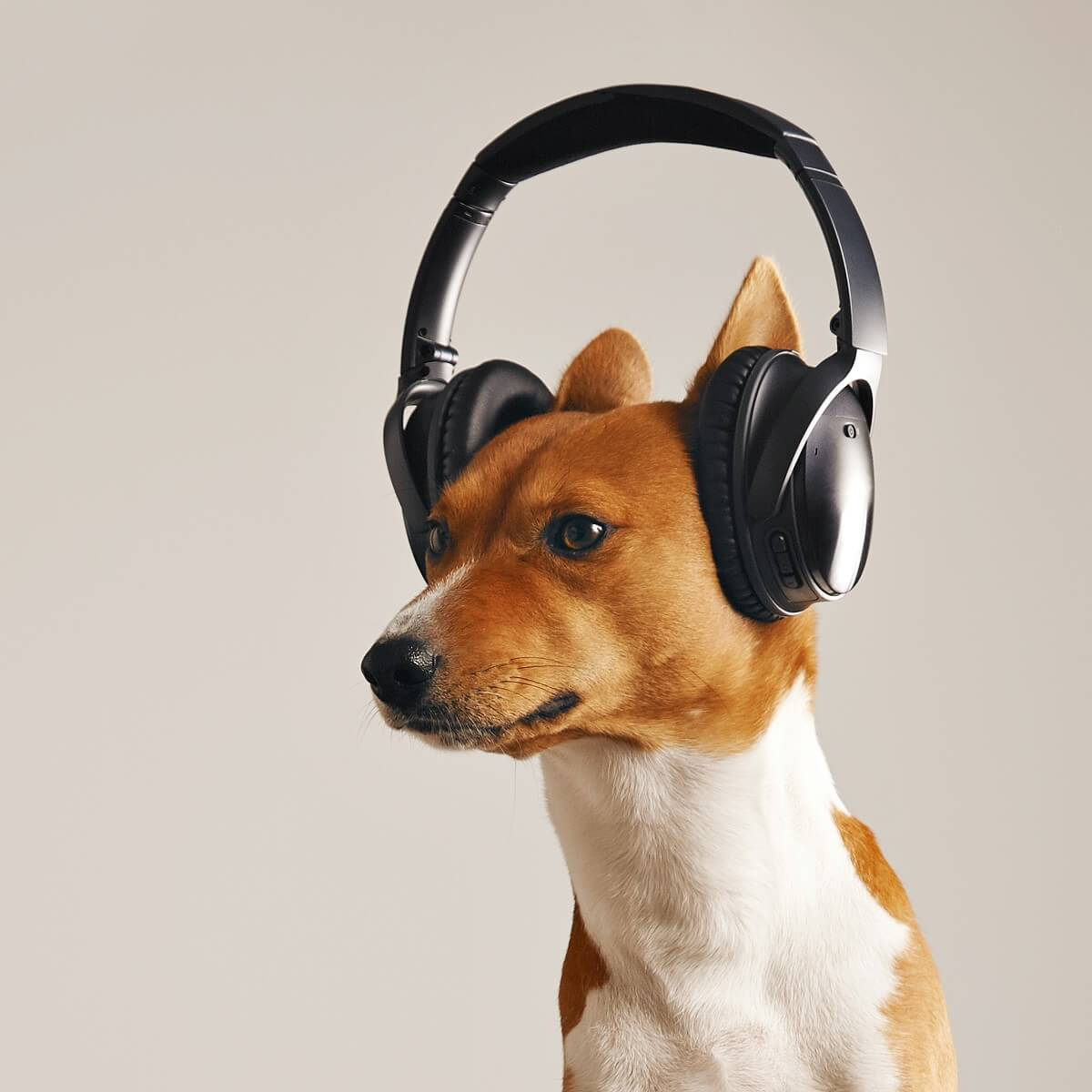 犬がヘッドフォンをかけている様子。