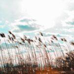 稲が風で揺れている様子。