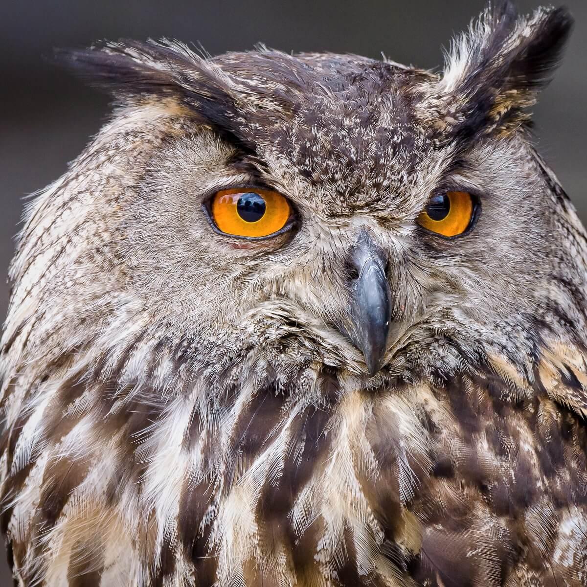 黄色い目をしたフクロウの写真。